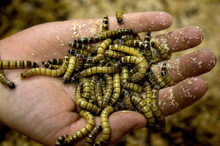 Пальмовые черви