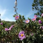 Ладанник (трава) - лечебные свойства и применение
