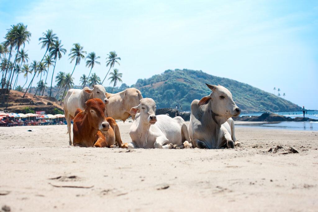 Cow Beach, Гоа